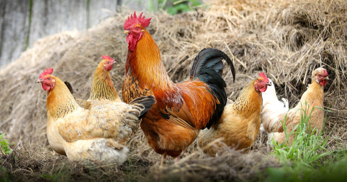 Hens and a rooster. Image by klimkin from Pixabay.