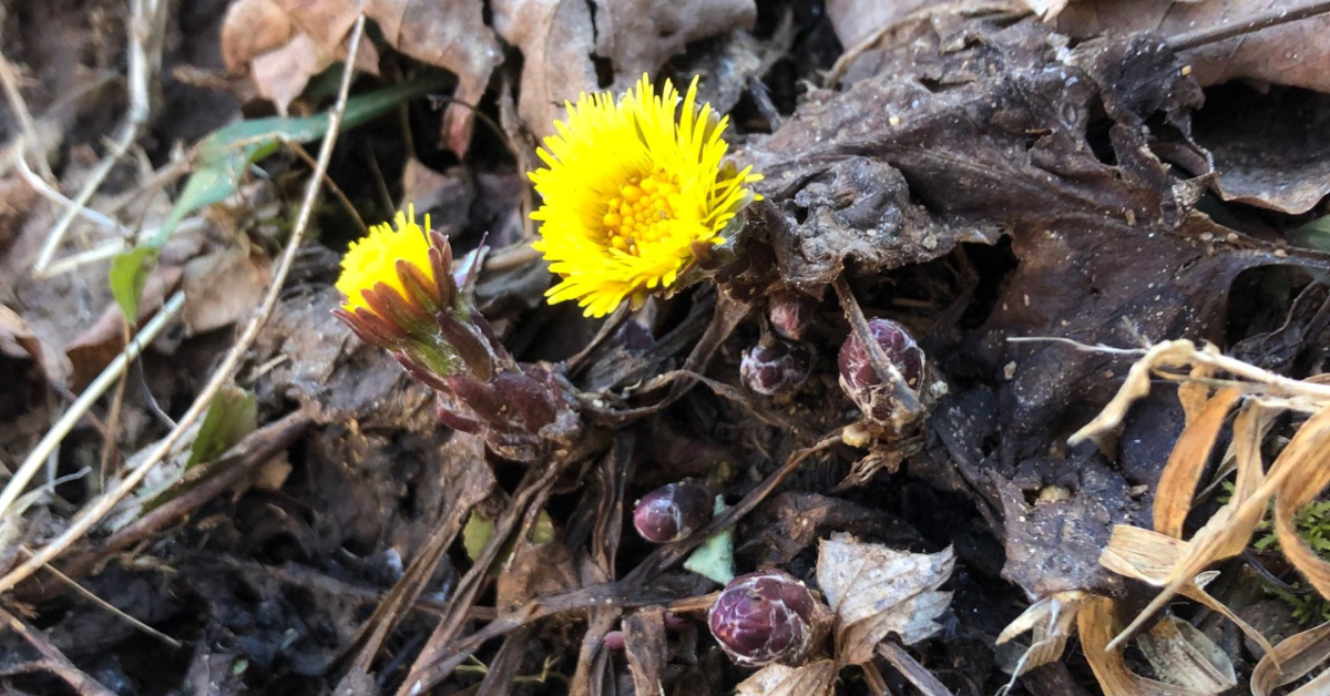 The first flower of spring