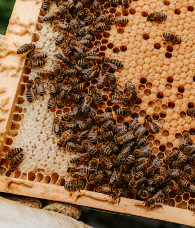 capped brood on a bee hive frame