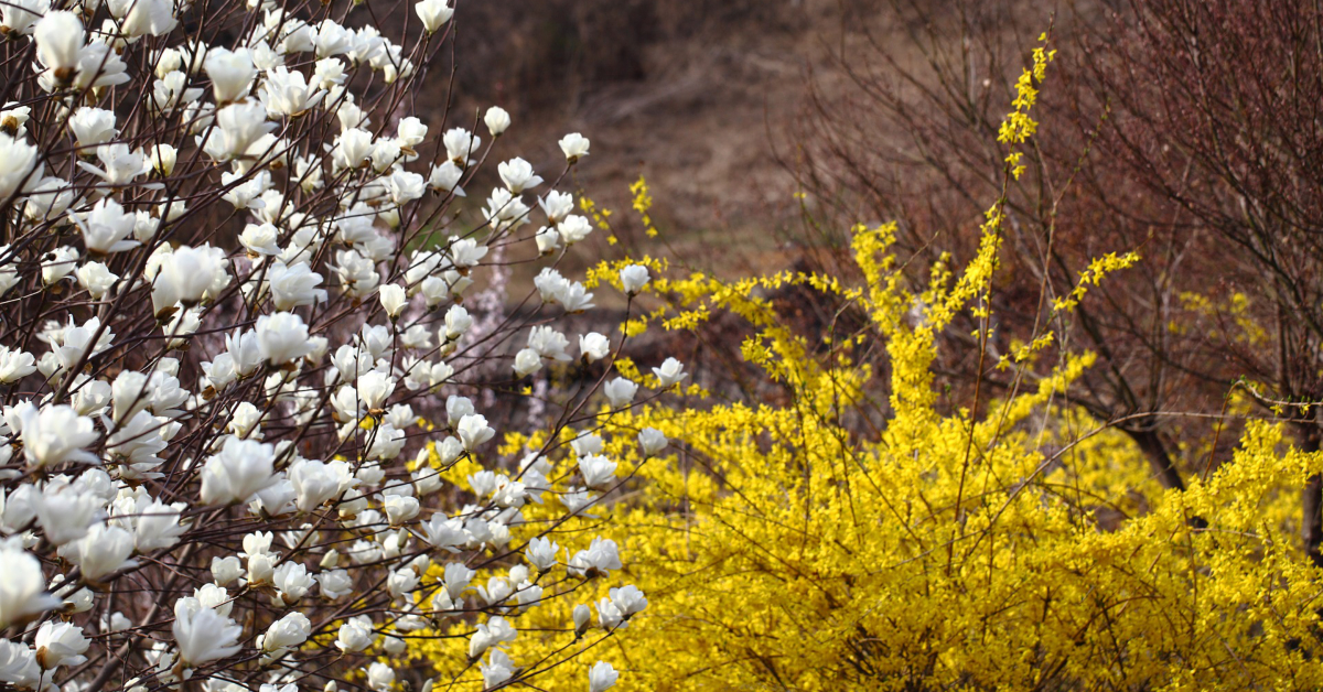 The yellow blooms of forthysia herald the coming of spring