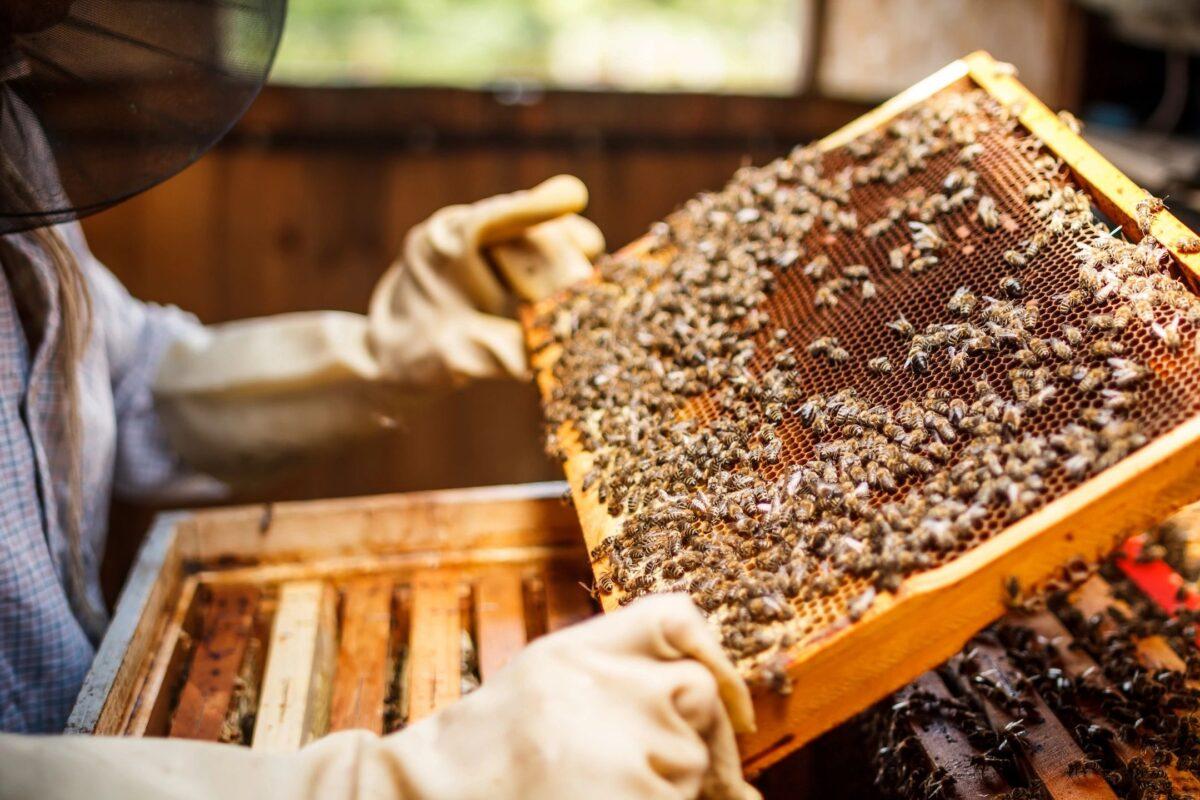 Examining a frame of bees