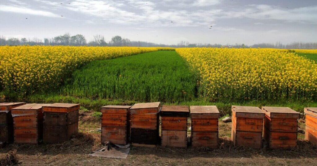 Beehives in the field