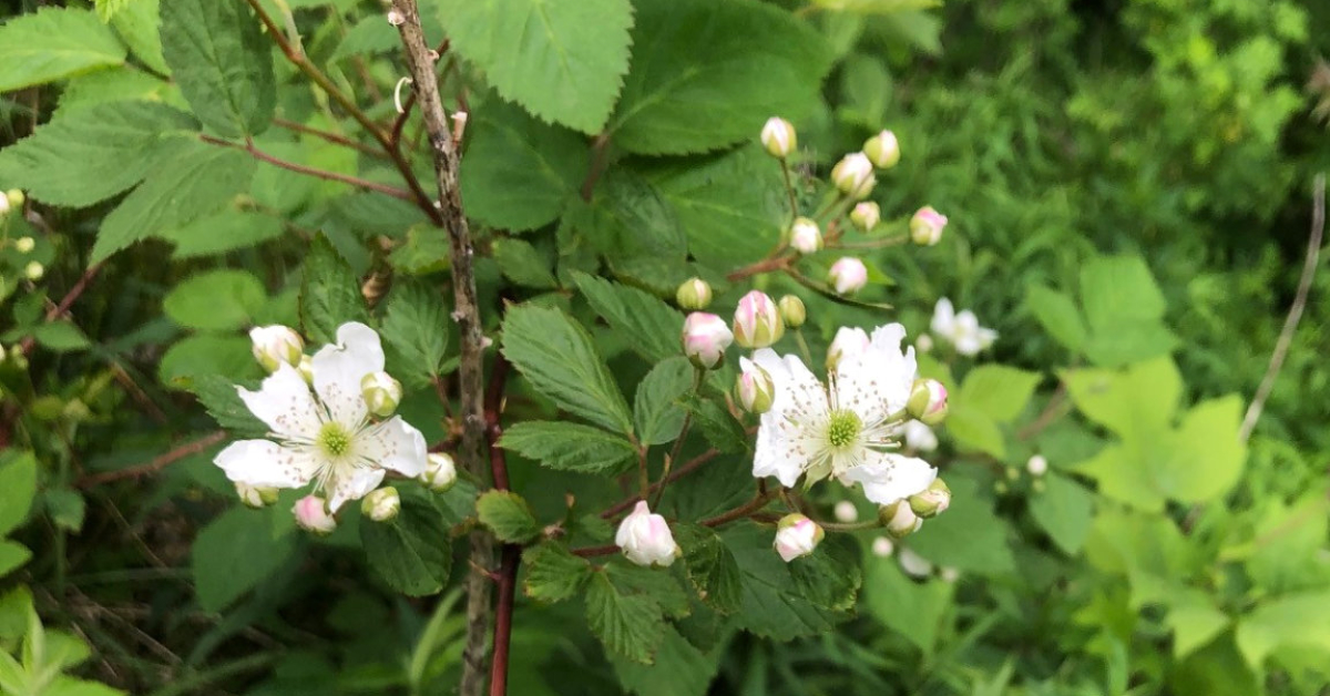 blackberry blossoms and buds.