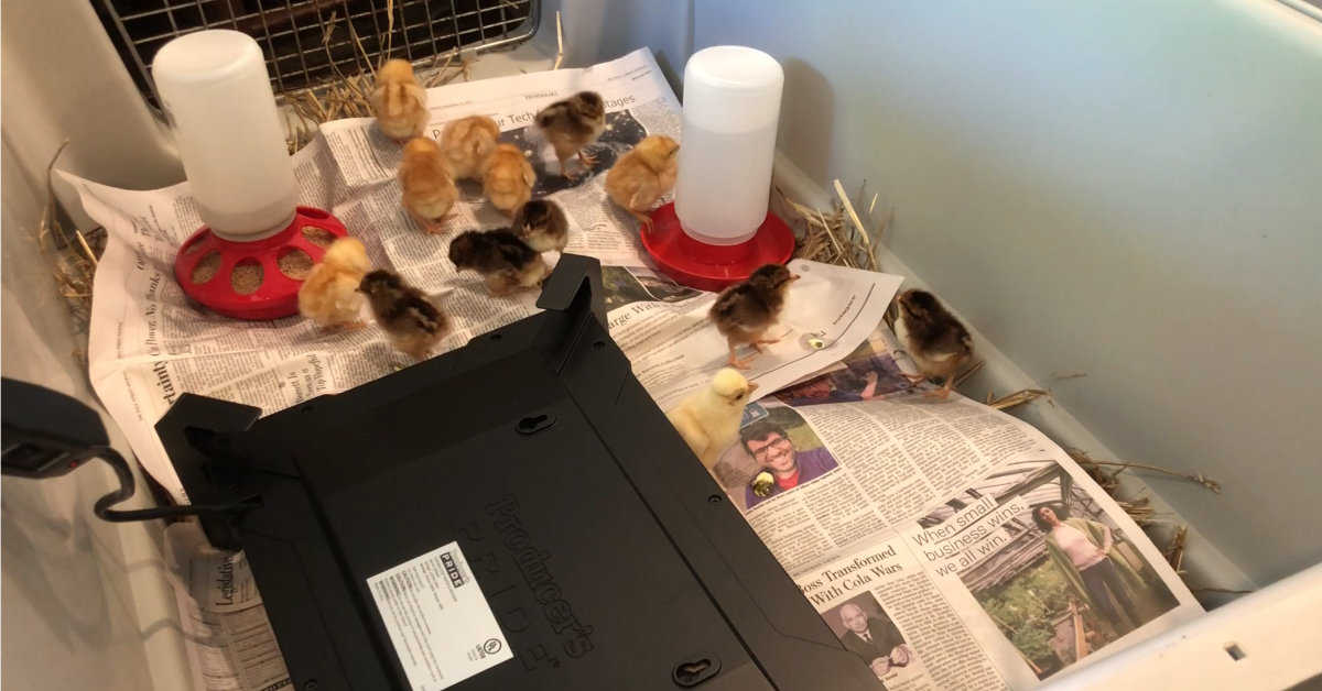 Chicks in their brooder