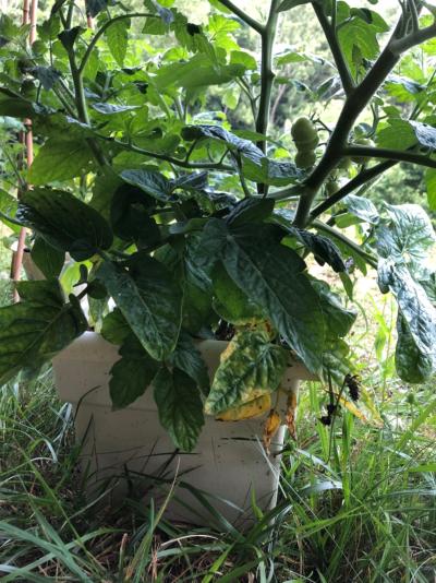 tomato plant in whit epot