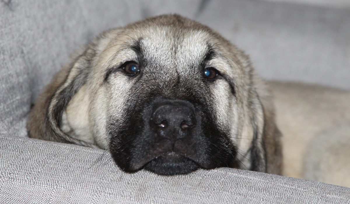 An Anatolian Shepherd breed of dog on the couch