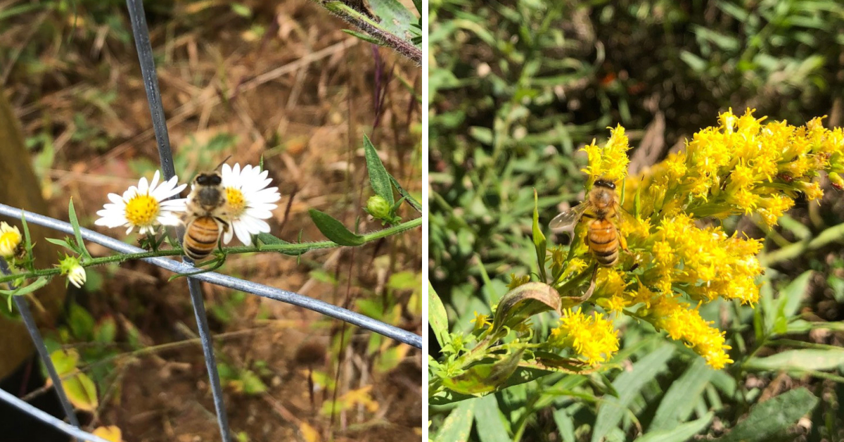 Bees on Asters (left) and Goldenrod