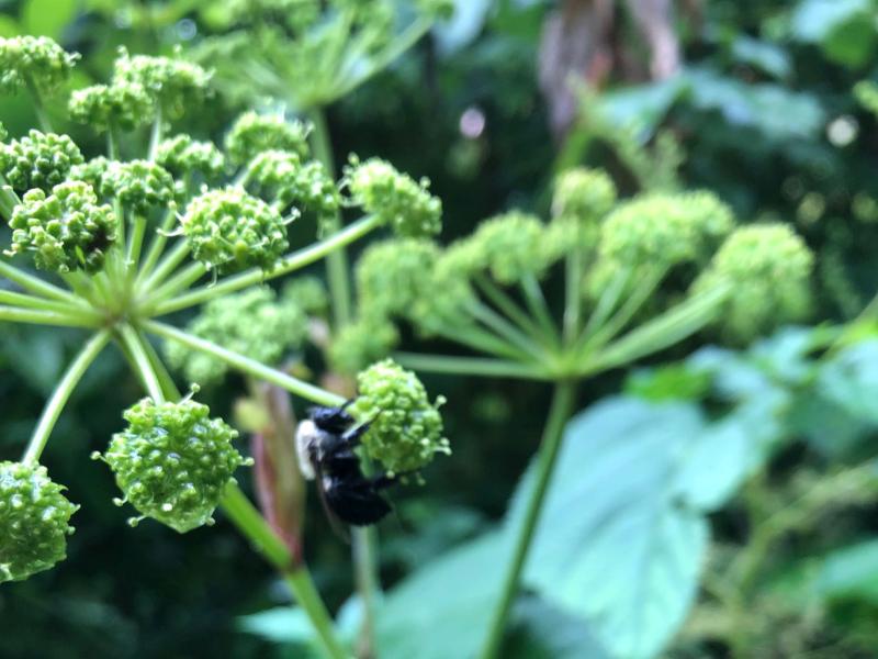bumblebee on green buds