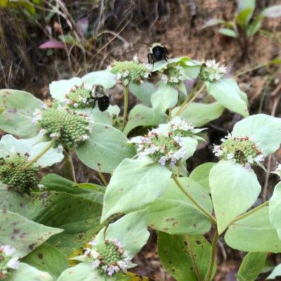 Two bumblebees enjoy some Mountain Mint.