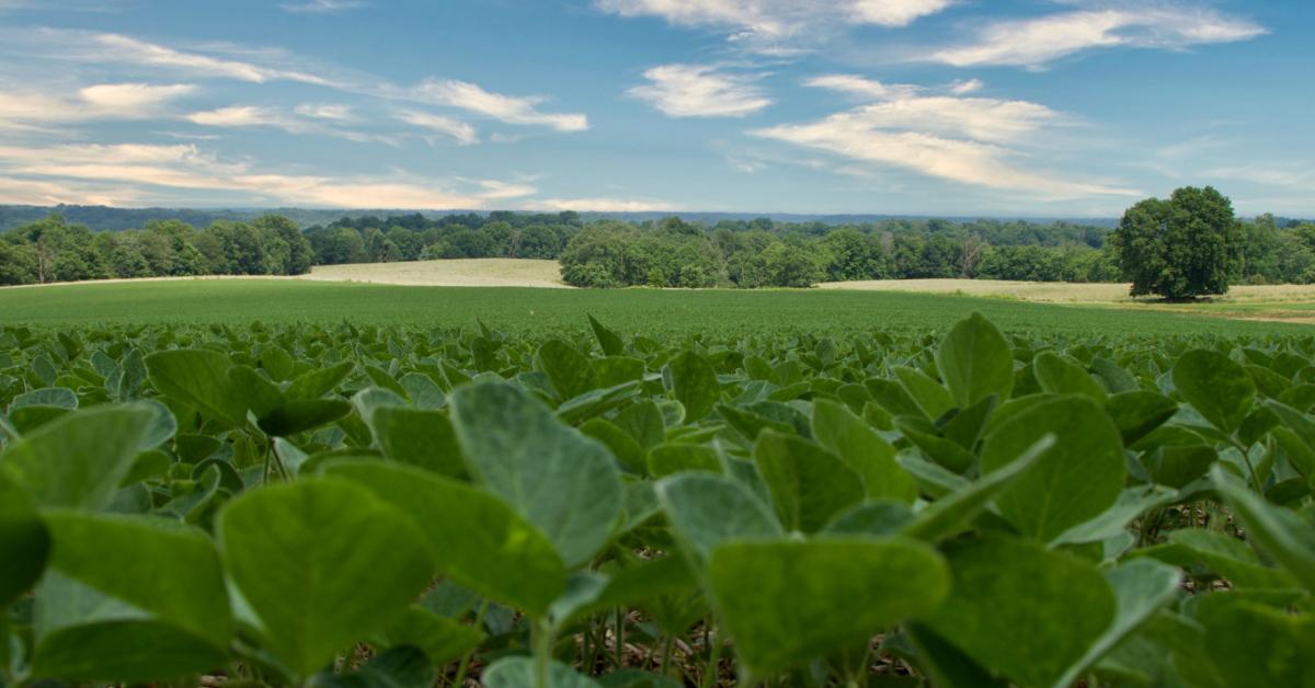 Soybeans growing in a field. Photo by Braden Egli on Unsplash.