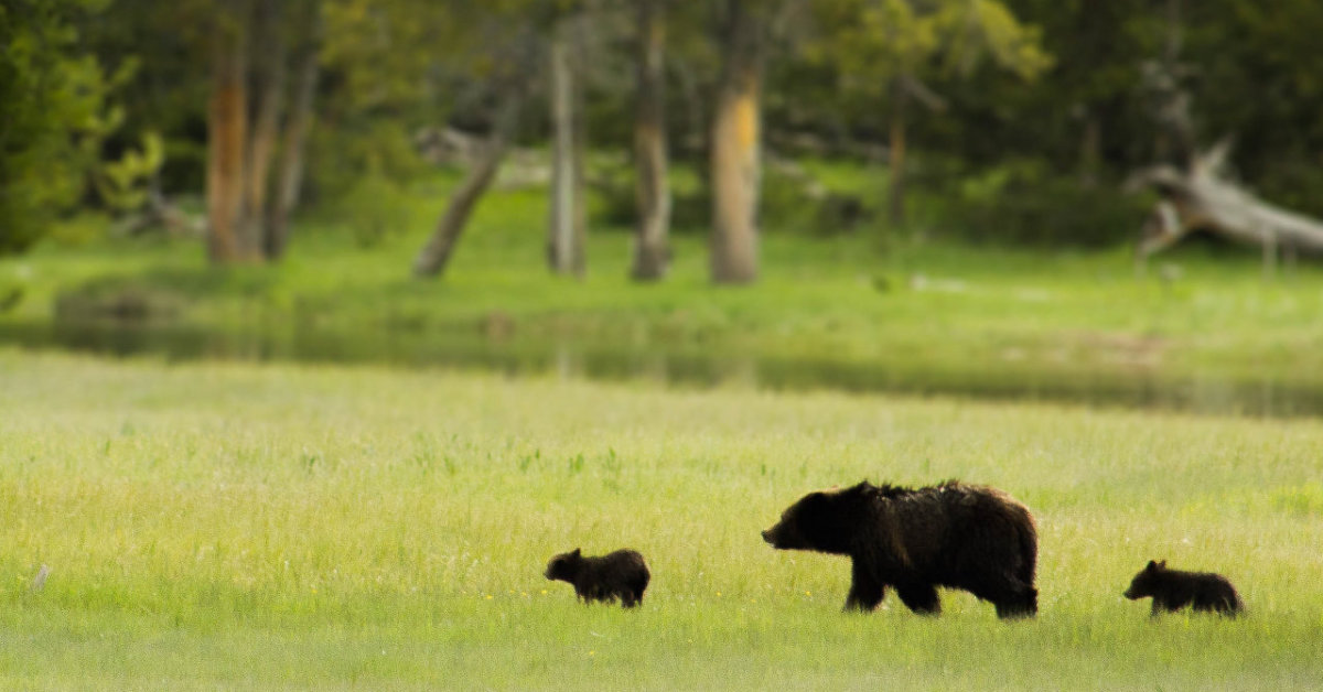 Forget the Raccoon, the Bears are Here