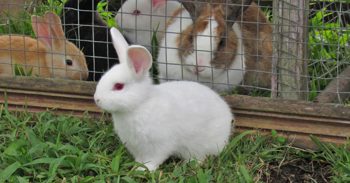 Rabbits in captivity. Image by Ely Penner from Pixabay.