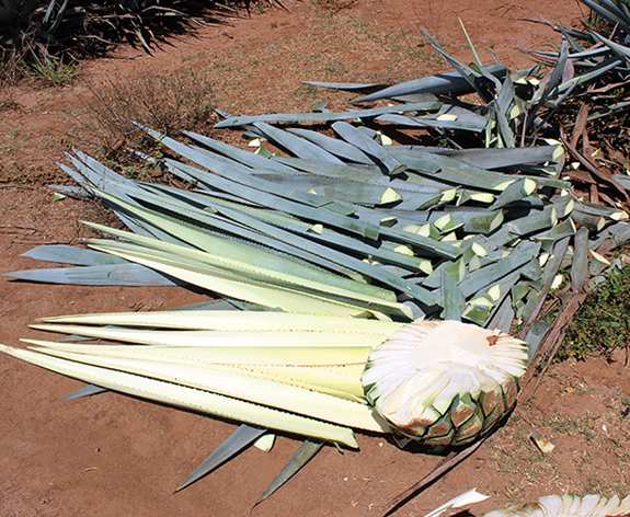 agave-sized