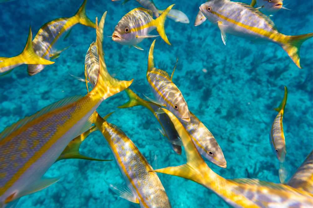 A school of yellowtail snapper fish swimming in clear turquoise ocean water