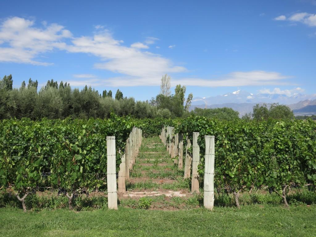 Malbec Vineyards at Achaval Ferrer