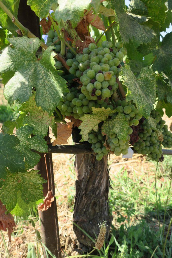 Lodi vineyard