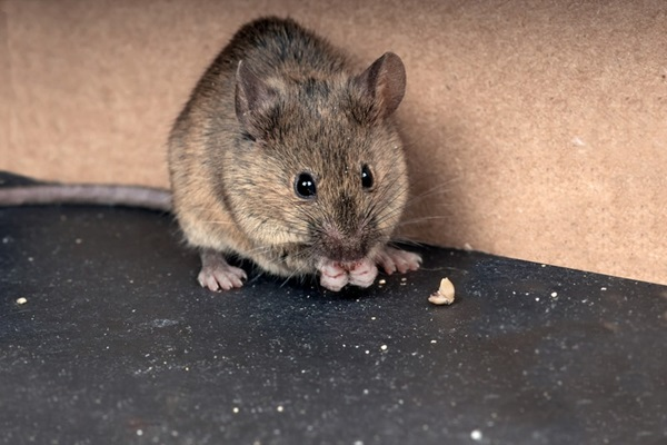 get-rid-of-mice - the guardlite