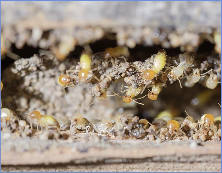 Termite on the move