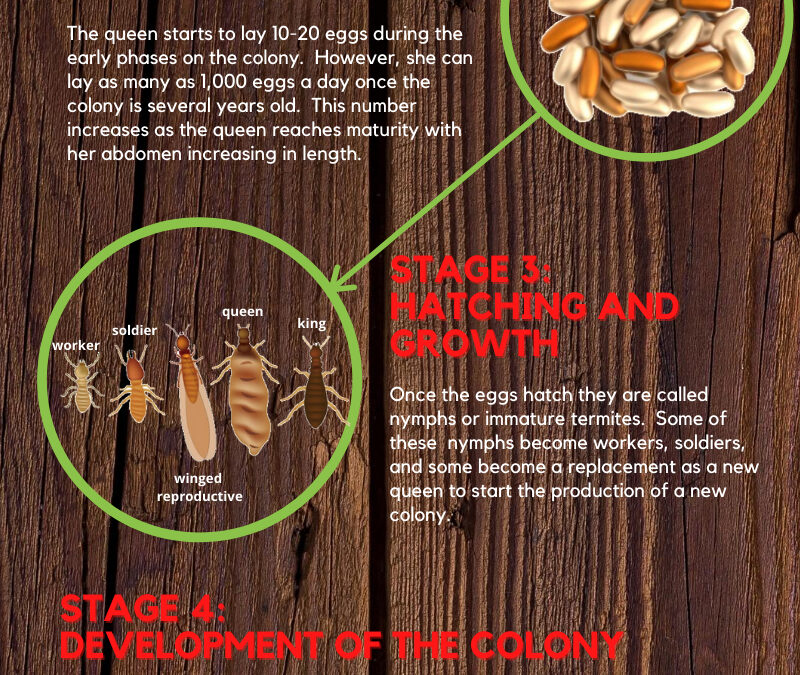 Destructive Life Cycle of Termites