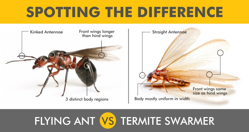 Spotting the difference with flying ant and termite