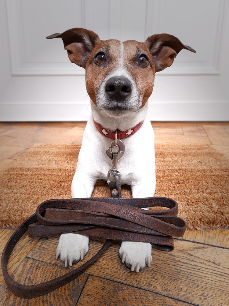Dog on leash eager to go for a walk