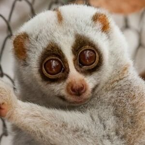 Slow Loris Pey sponsor an animal Phnom Tamao Wildlife Rescue Centre Cambodia Wildlife Alliance