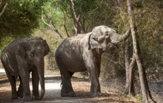 Lucky the elephant browses for food on her walks around Phnom Tamao Wildlife Rescue Centre