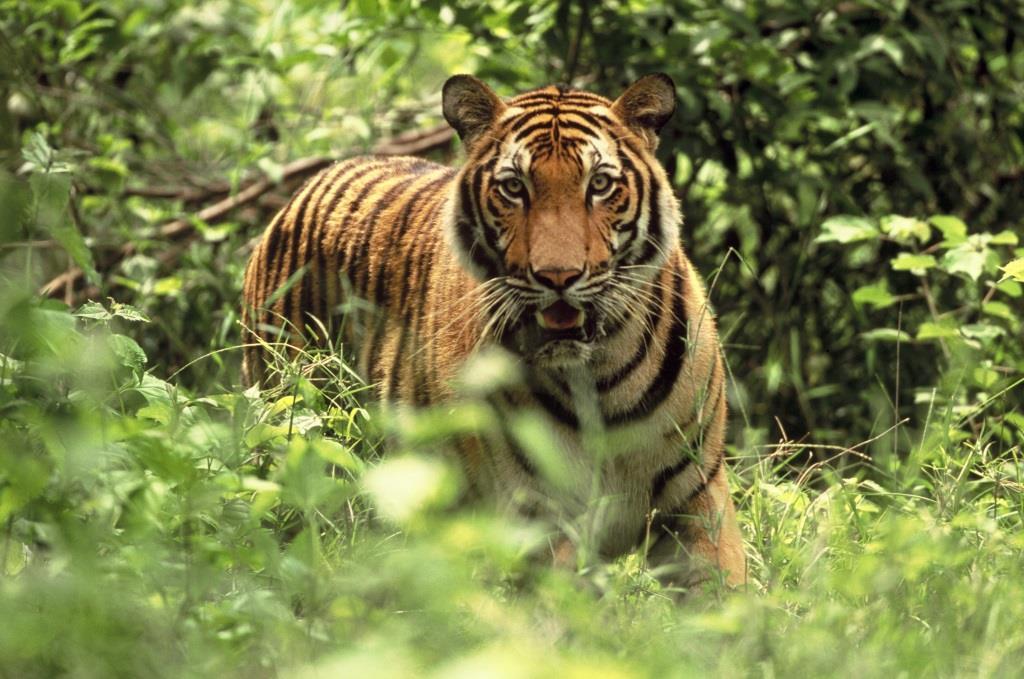 Tiger Prey – Tiger reintroduction Cambodia