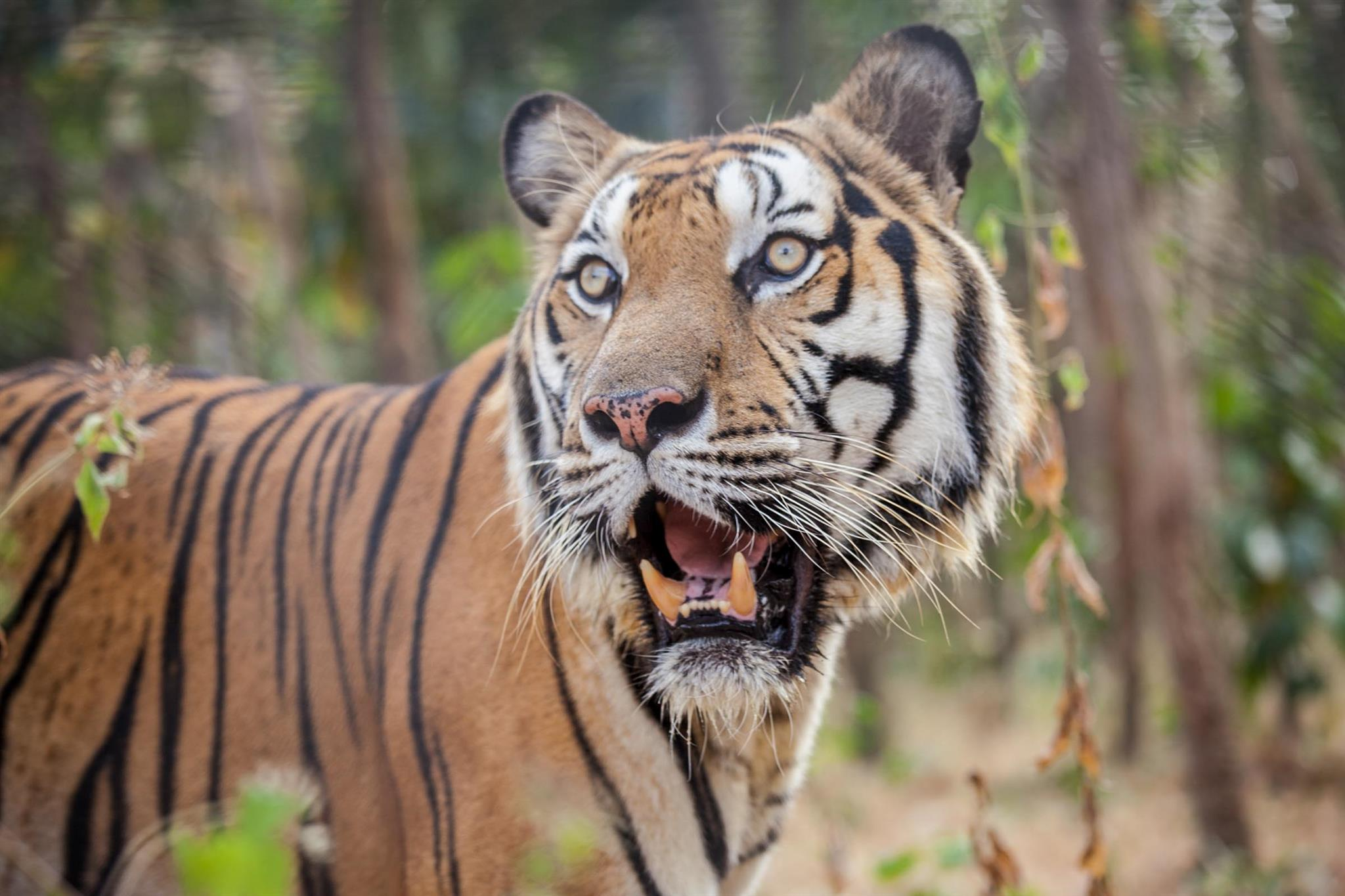 Global Tiger Day 2019