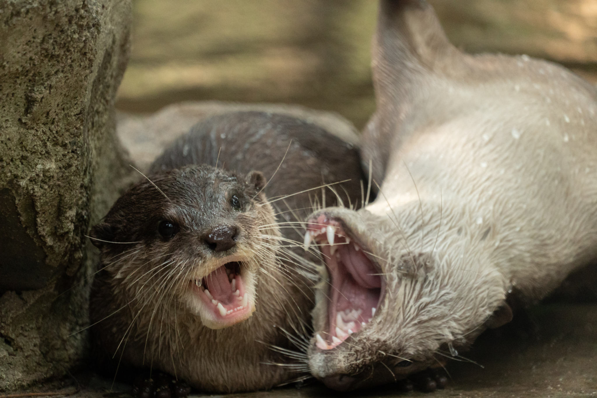 Smooth coated otters playing at Phnom Tamao