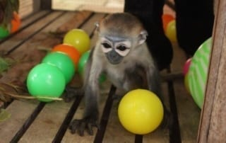Black-shanked douc langur rescued from the illegal wildlife trade in Cambodia
