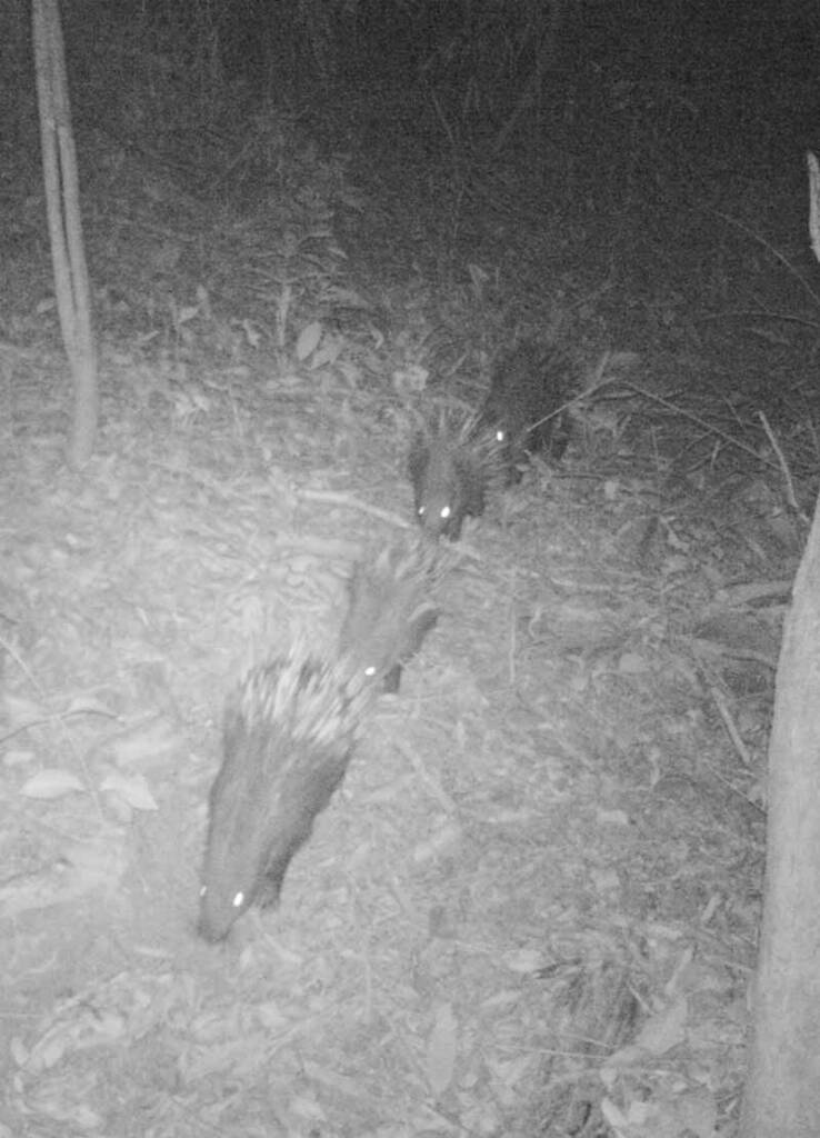Wildlife Alliance camera trap - Cardamom Mountains Dhole