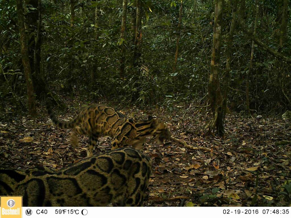 A pair of Clouded Leopards caught on camera trap in the Cardamoms in 2016.
