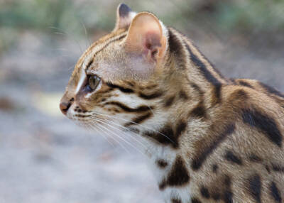 Leopard cat released in December 2020 within the Angkor landscape by Wildlife Alliance in December 2020