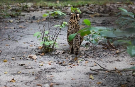 Leopard cat gets their first taste of the wild at Angkor Protected Forest by Wildlife Alliance in December 2020
