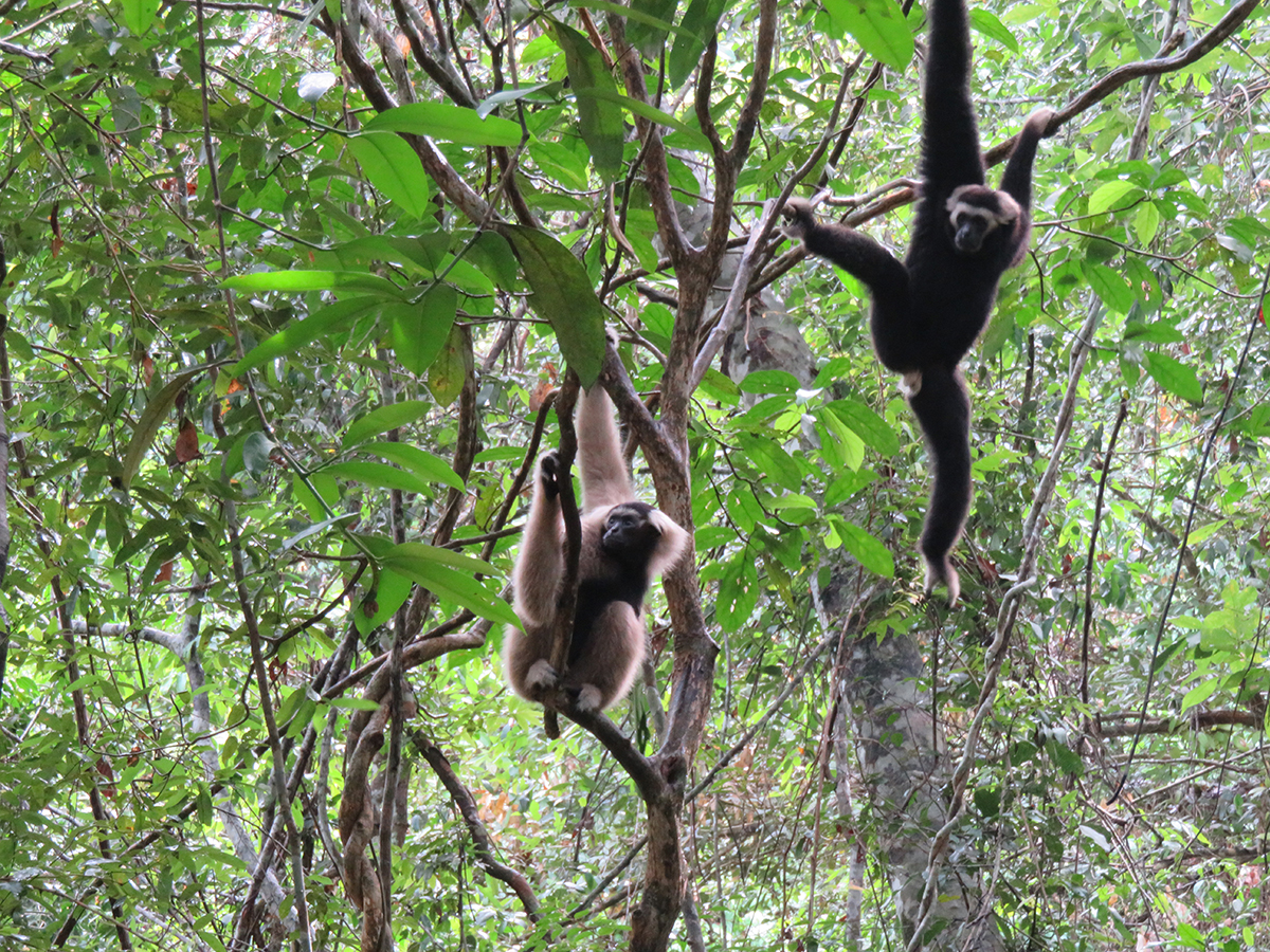 Pileated gibbon family released at Angkor Wat within Angkor Protected Landscape by Wildlife Alliance