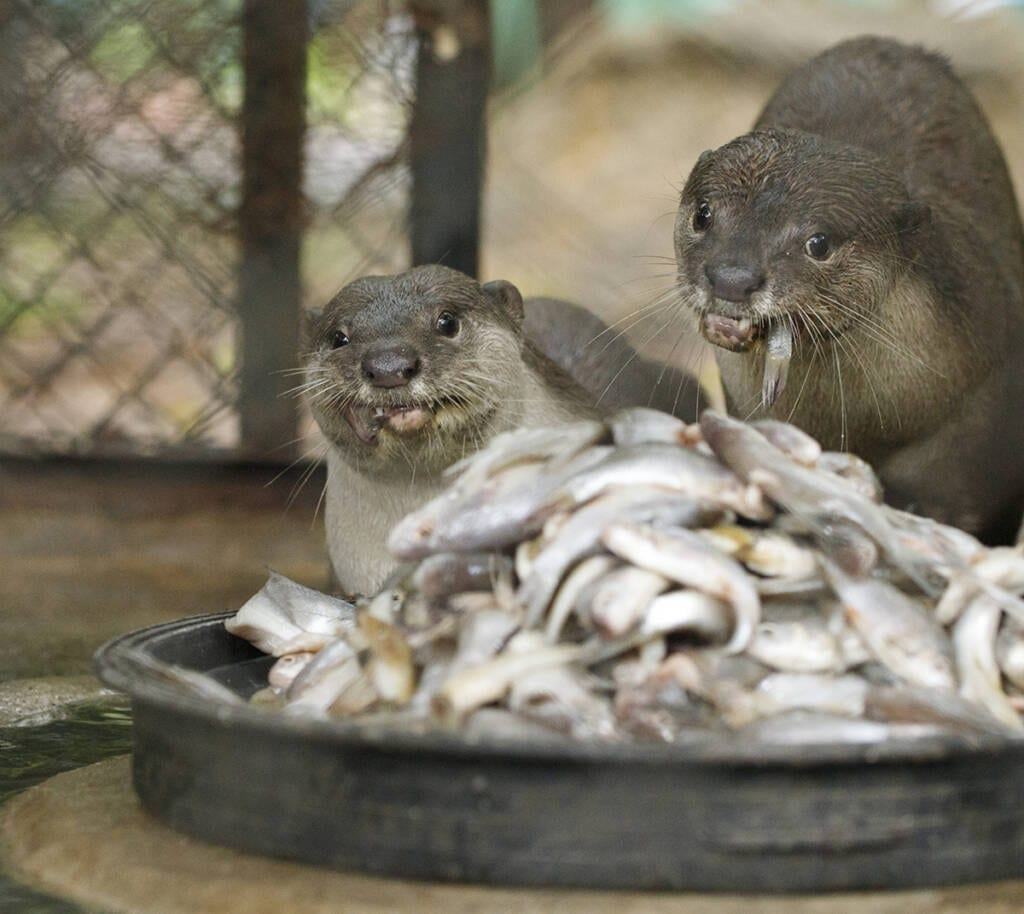 Smooth-coated otters released at Angkor Protected Forest by Wildlife Alliance come for feeding time.jpg