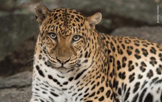 Asiatic or Indochinese Leopard closeup Phnom Tamao Wildlife Rescue Centre Cambodia Wildlife Alliance Jeremy Holden small