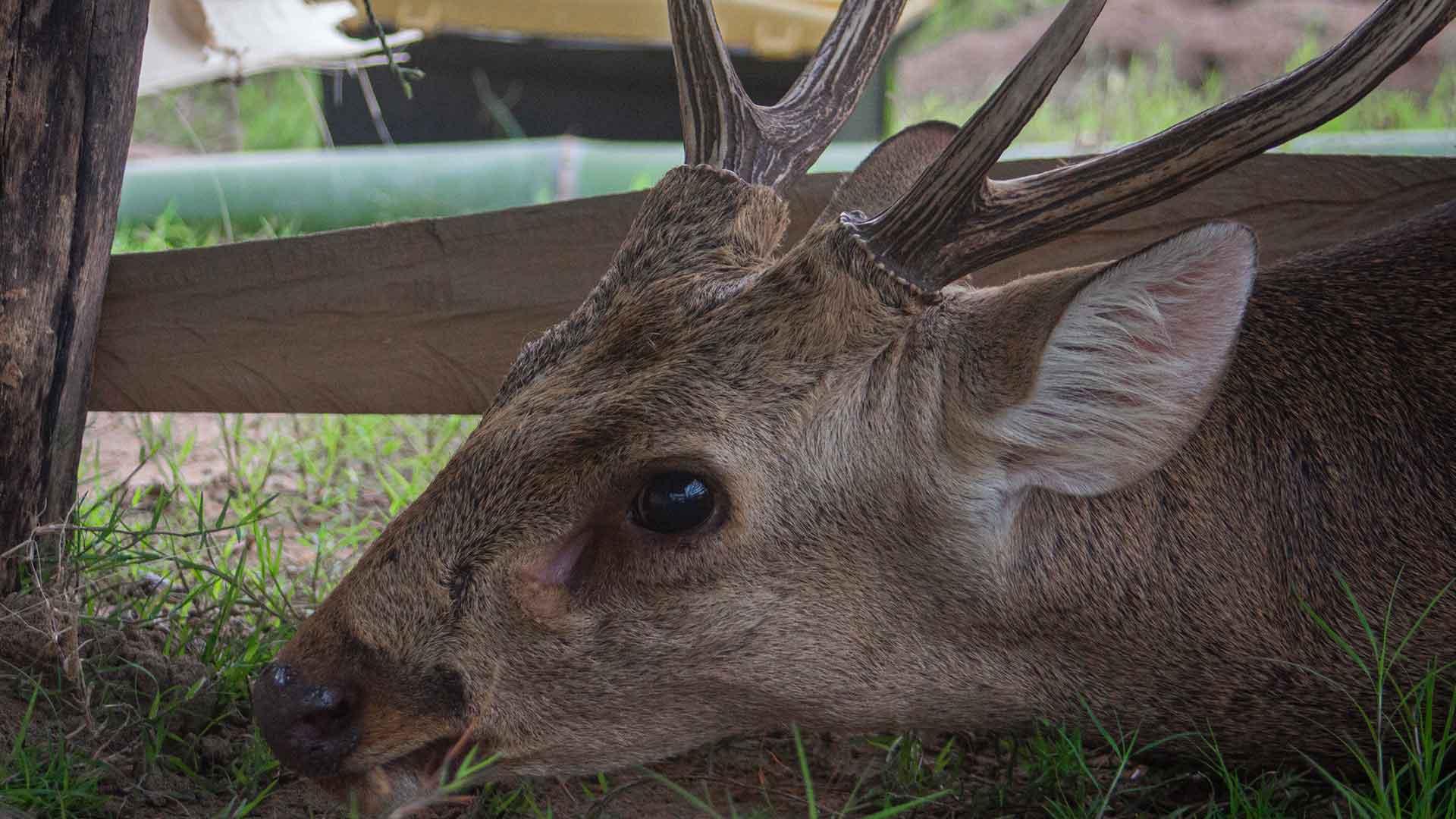 Hog deer rescue