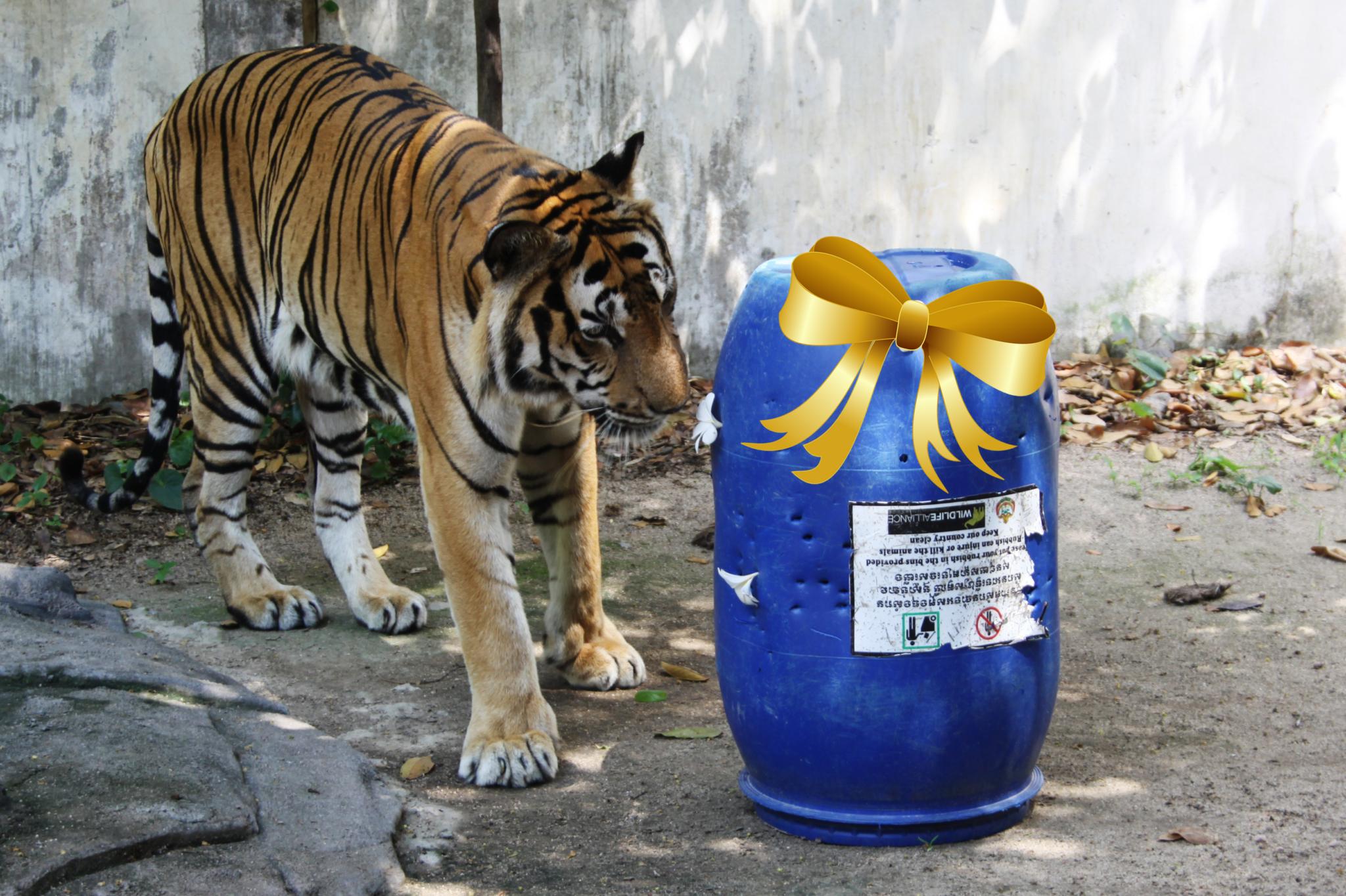 Tiger with barrel enrichment Wildlife Alliance Cambodia Phnom Tamao Wildlife Rescue Centre git bow Mother's Day 2021