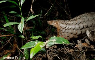 Tracking released pangolin at Wildlife Release Station Cambodia Wildlife Alliance 2021 watermark Joshua Prieto