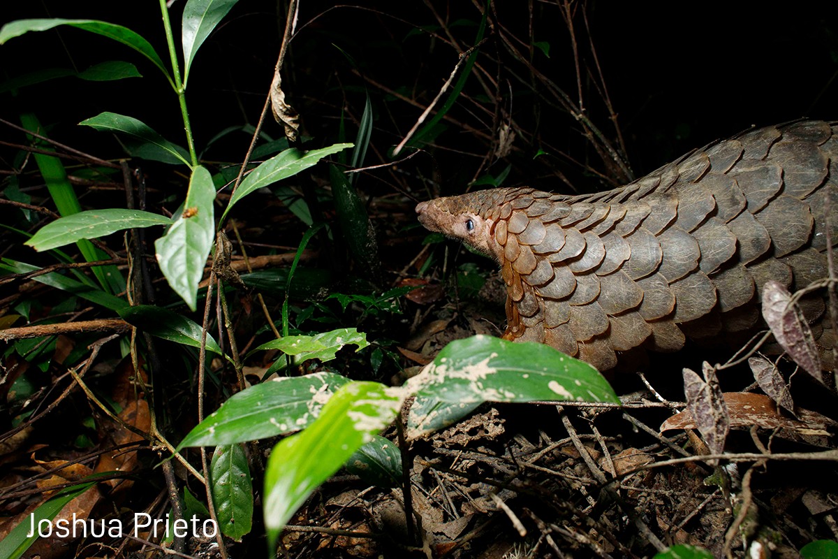 Tracking Pangolins- one of the world's most elusive creatures