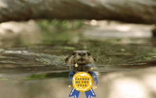 This Otter wins Father of the Year at Phnom Tamao Wildlife Rescue Centre Cambodia Wildlife Alliance v2