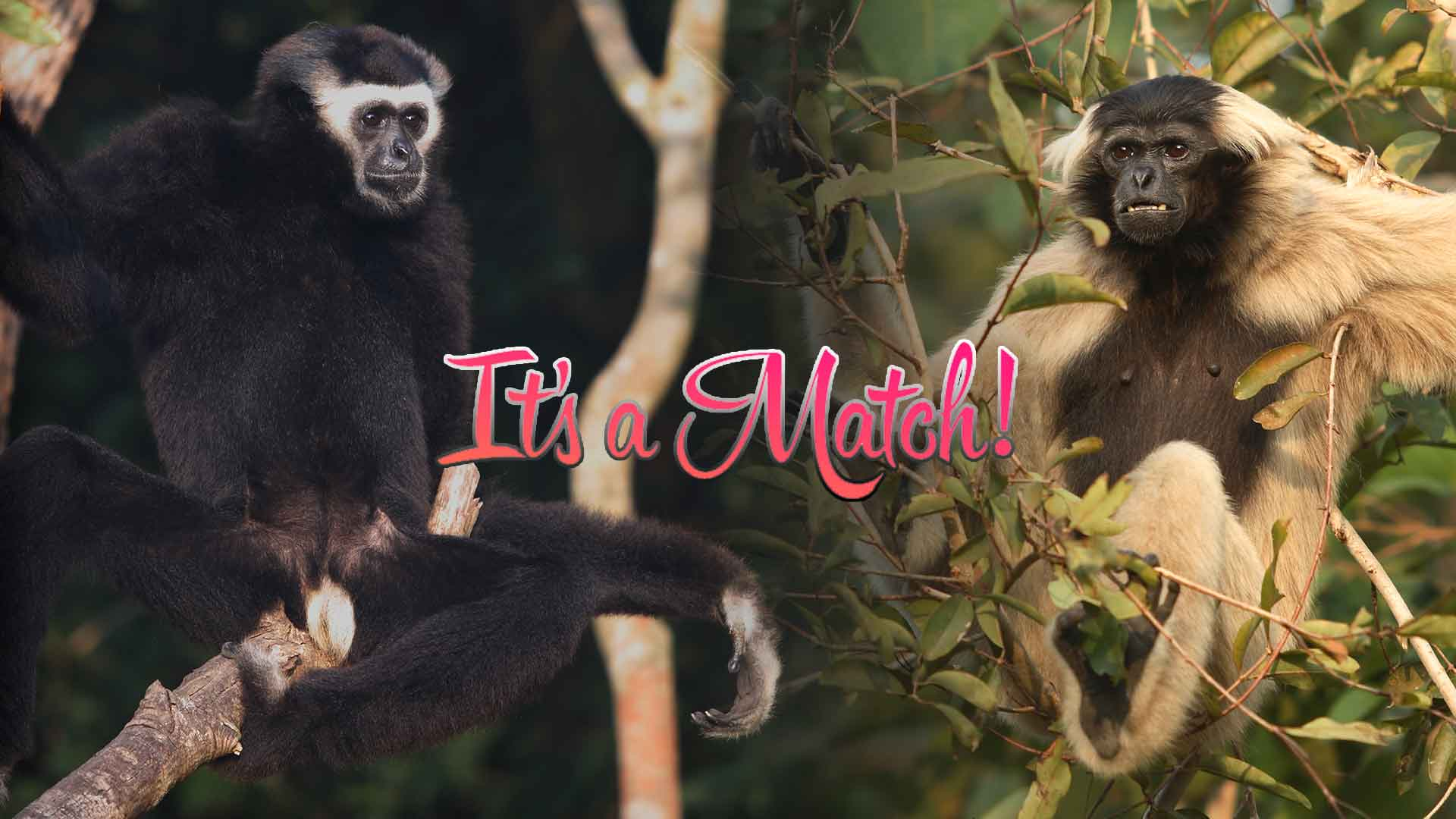 A Gibbon love story from Cambodia