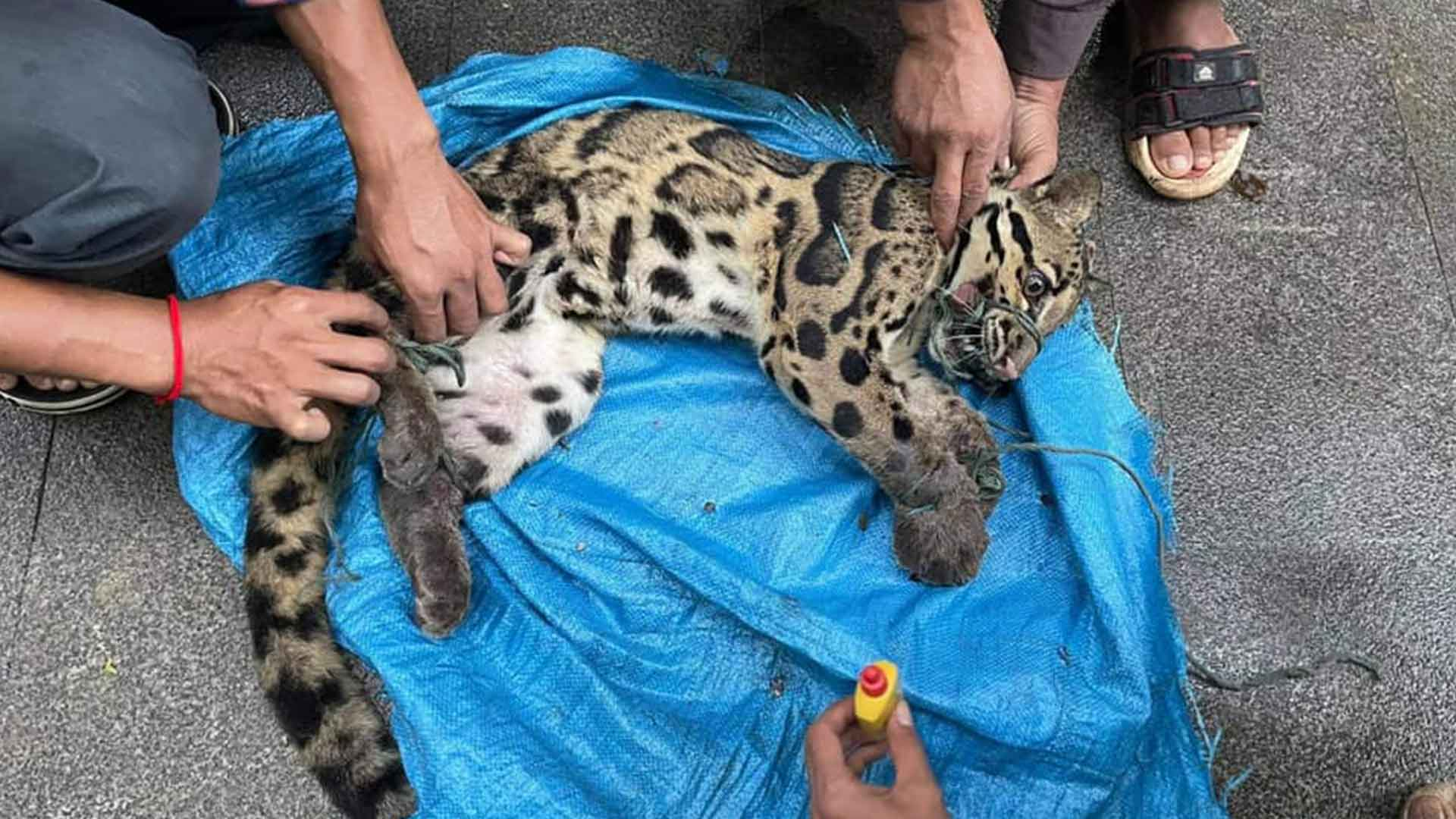 Snared Clouded Leopard dies from injuries