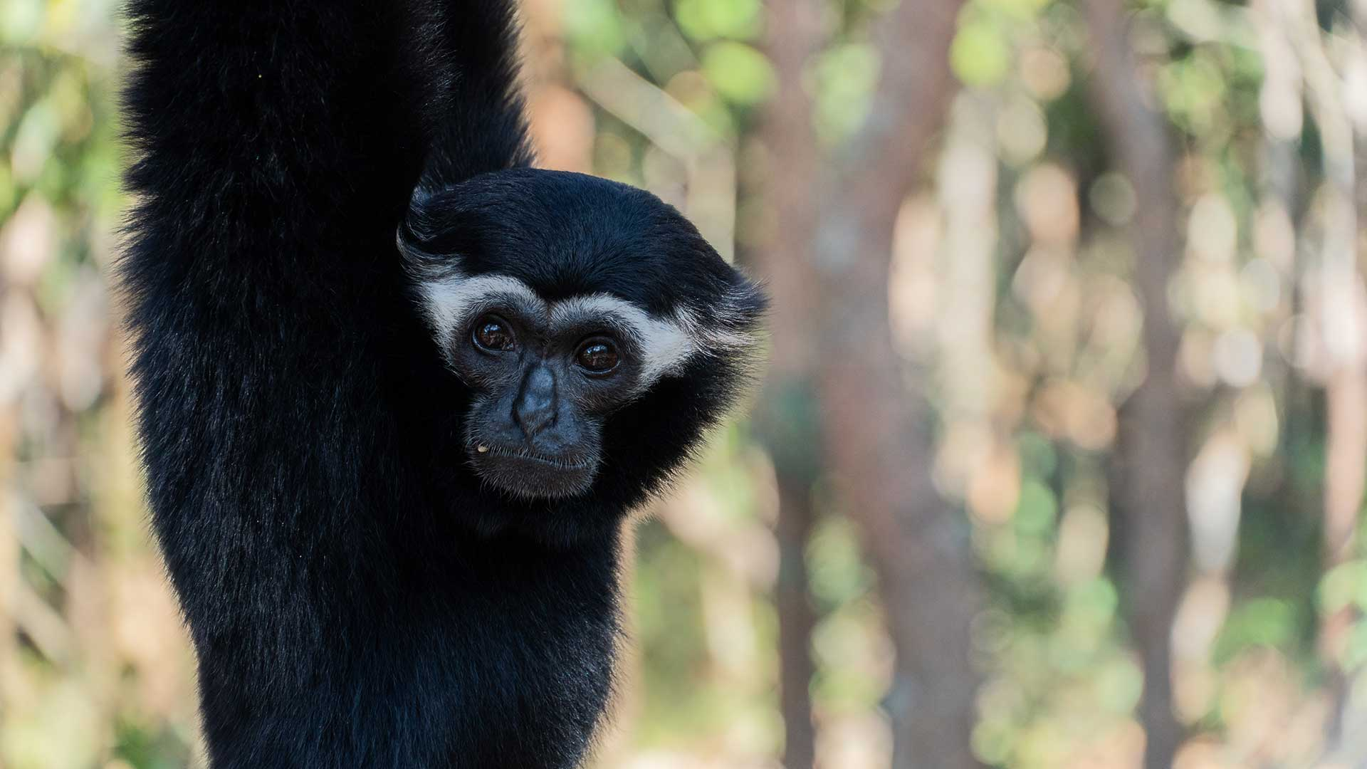 All things Gibbon
