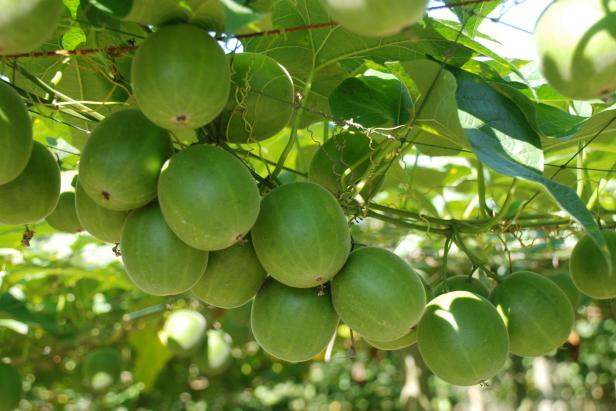 Monk Fruit: How Sweet it Is!