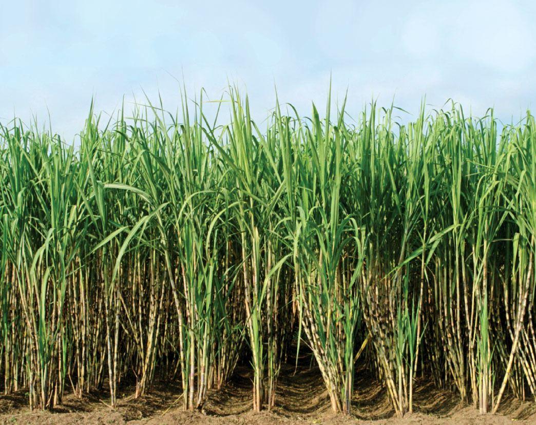 Raw Sugarcane Juice Nature's Perfect Wonder Food