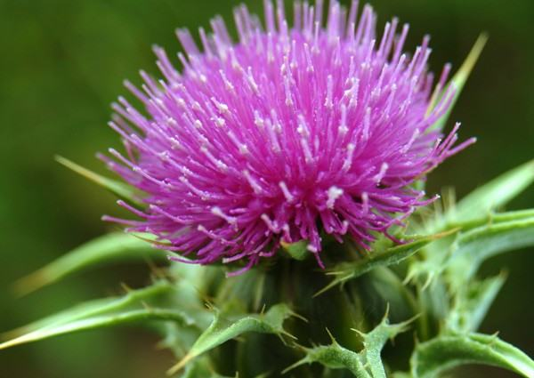 Milk Thistle & Non-Alcoholic Fatty Liver—An Ancient Remedy for a Modern Disease