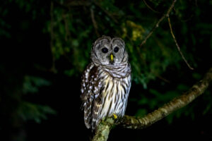 Watch Your Head :) This Barred OWl was low and close to Tom Socci